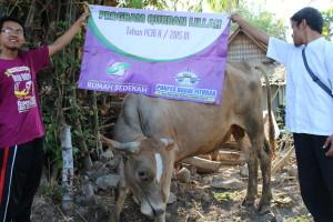 Salah satu sapi Qurban dari paradonatur yang siap untuk disembelih.
